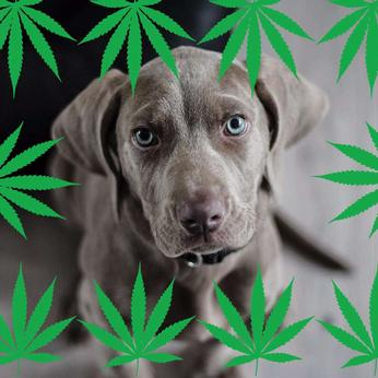 Should You Medicate your Pet with Cannabis?